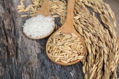 Grain and rice on wood table. And spoon royalty free stock images