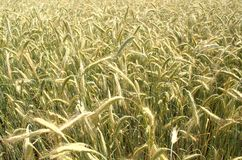 Grain rye wheat field background Royalty Free Stock Photo
