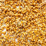 Grain seeds Royalty Free Stock Photo