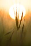 Grain senset. Grain close up in senset Stock Image