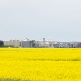 Grain silos canola rapeseed agriculture field Royalty Free Stock Photo