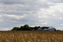 Grain silos at the edge of a field of ripe corn. Metal grain silos for storing cereals and grain at the edge of an agricultural field of ripe corn ready for Royalty Free Stock Image