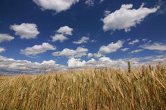 Grain and sky Stock Photos