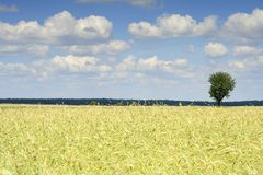 Grain and the sky. (Poland Royalty Free Stock Photography