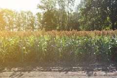 Grain sorghum on plants in a field against a background of trees and sky.  royalty free stock photography