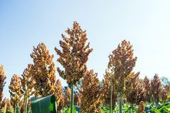 Grain sorghum on plants in a field against a background of trees and sky.  royalty free stock photos