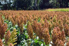 Grain sorghum on plants in a field against a background of trees and sky.  stock photography