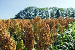 Grain sorghum on plants in a field against a background of trees and sky.  stock image