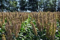 Grain sorghum on plants in a field against a background of trees and sky.  stock photo