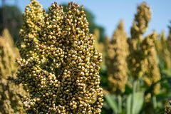 Grain sorghum on plants in a field against a background of trees and sky.  royalty free stock images