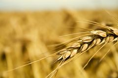 Grain spike Royalty Free Stock Photos