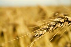 Grain spike Royalty Free Stock Photos