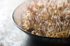 Grain sprouted wheat closeup, healthy food partial blur Stock Photo