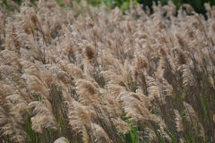 Grain stalks swaying in the breeze Royalty Free Stock Photo