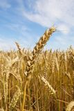 Grain Straw Royalty Free Stock Photos