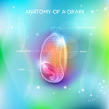 Grain structure on a beautiful background. Grain structure on a beautiful blue mesh background. Cross section of a grain. Endosperm, germ, bran layer and hairs Stock Images