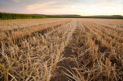 Grain stubble and corn stalks in field Royalty Free Stock Image