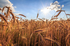 Grain and sun. Grain field against blue sky, wide angle view Stock Image