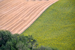 Grain and sunflowers agricolture. Grain and sunflowers field in Italy Stock Photo