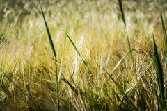 Grain in sunlight. Grain in the sunshine in the highlands Royalty Free Stock Photography