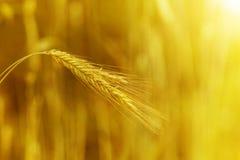 Grain at sunset Stock Photo