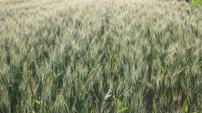 Grain sur le champ près de la rivière photo libre de droits