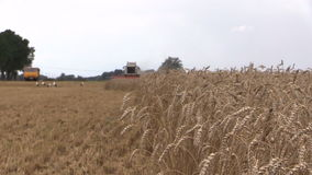 Grain sway wind, background harvester, vehicle, stork. Farming stock video