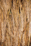 The grain Royalty Free Stock Image