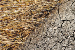 Grain and terra. Agricultural symbol Royalty Free Stock Photography