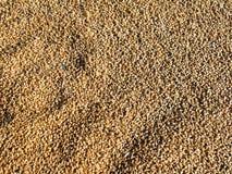 Grain texture of wheat. Accumulation of grain - wheat cereals. Bountiful harvest Stock Photos