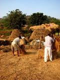 Grain Thrash. Indian farmers collect grains using traditional methods Stock Photography