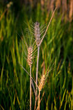 Grain. Three ears of corn isolated on a meadow Royalty Free Stock Photography