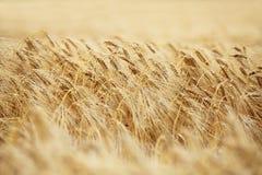Grain tips Royalty Free Stock Photo