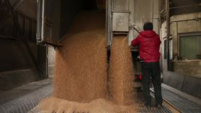 Grain truck unloading. Kiev, Ukraine - Fedruary 2017: Wheat is unloaded from a truck at a flour mill. Wheat is strewing. Unloading of wheat grain. Flour mill stock footage