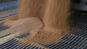 Grain truck unloading. Unloading wheat grain from grain truck on mill. Truck unloads, grain on the granary. Big harvest. Wheat is unloaded from a truck at a stock video