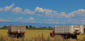 Grain Trucks in the Field. Grain trucks collecting harvested oats Stock Images