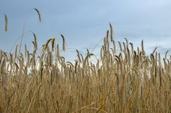 Grain under the sky. Background with grain under the clear sky Royalty Free Stock Photography