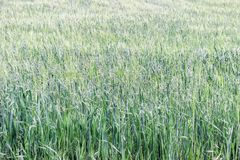 Grain vert dans le domaine Photographie stock libre de droits