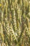 Grain vert jaunâtre de blé Images libres de droits