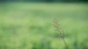 Grain Weed in the Wild Royalty Free Stock Photo
