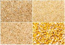 Grain of wheat, barley, rye and corn Stock Photos