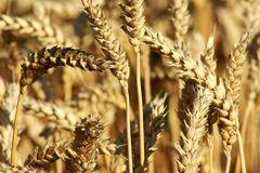 Grain wheat crop details. Detailed grain wheat crop with an intense gold color Stock Images