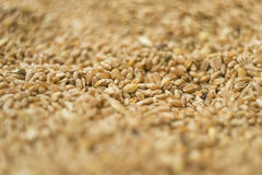 Grain of wheat Royalty Free Stock Photo