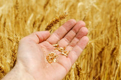 Grain of wheat in hand Royalty Free Stock Images
