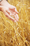 Grain of the wheat in hands of the person Stock Photography