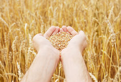 Grain of the wheat in hands of the person Royalty Free Stock Images