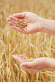 Grain of the wheat in hands of the person Royalty Free Stock Image