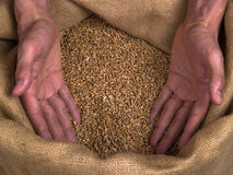Grain Wheat man hands. Strong coarse shape Man hands, showing with open palms, grain of wheat in the bagging Royalty Free Stock Photography