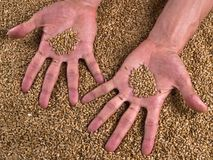 Grain Wheat man hands Stock Photos