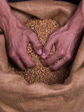 Grain Wheat strong man hands. Strong coarse shape Man hands taking grain of wheat from the bagging Stock Photos